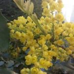Mahonia aquifolium, Mahonie, Blüten