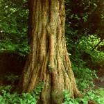 Metasequoia glyptostroboides - Urweltmammutbaum