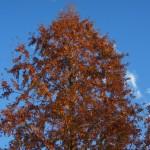 Metasequoia glyptostroboides - Urweltmammutbaum im Herbst
