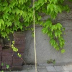 Parthenocissus tricuspidata Veichtii - Mauerkatze