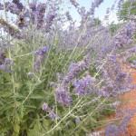 Perovskia atriplicifolia - Blauraute, Blütenrispen