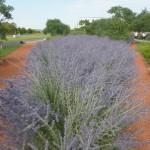 Perovskia atriplicifolia - Blauraute, Heckenpflanzung