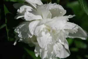 Philadelphus Virginal - gefüllter Jasmin, gefüllter Pfeifenstrauch, Blütendetail