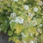 Physocarpus opolifolius Dart´s Gold, Blüten- und Blattdetails