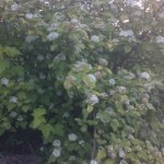 Physocarpus opolifolius Dart´s Gold, Wuchsform