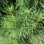 Picea glauca Conica, Zuckerhutfichte, Detail Nadel