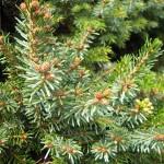 Picea omorika Nana - Omorkia-Zwergfichte