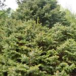 Picea omorika Nana - Omorika-Zwergfichte