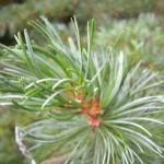 Pinus parviflora Glauca - Mädchenkiefer