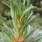 Pinus parviflora Glauca - Mädchenkiefer, Triebspitze, Detail Zweig