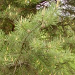 Pinus sylvestris - Weißföhre bzw Rotföhre