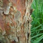 Pinus sylvestris Fastigiata - Säulenföhre, Stamm