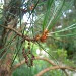 Pinus sylvestris Fastigiata - Säulenföhre, Zweige