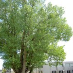Populus nigra - Pappel