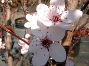 Blüte der Blutpflaume