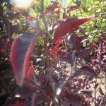 Prunus cistena, Strauchblutpflaume