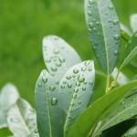 Prunus laurocerasus - Kirschlorbeer