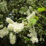 Prunus padus - Traubenkirsche