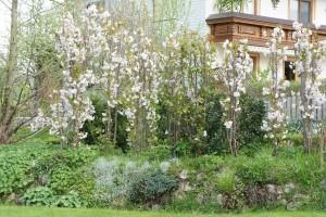 Prunus serrulata Amanogawa - Säulenzierkirsche als Hecke