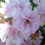 Prunus serrulata Kanzan, aufrechte japanische Zierkirsche, Kanzankirsche