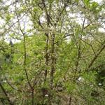 Schlehdorn Blüte