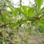Schlehdorn Blütendetail