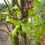 Straßenbaum, Alleebaum, Solitärbaum, Quercus robur, Stieleiche, Deutsche Eiche, Sommereiche, frischgrüner Austrieb im Frühjahr