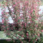 aufrechter Wuchs und zahlreiche Blüten sind die Merkmale der Blutjohannisbeere