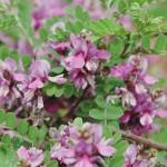 zahlreiche rosa Lippenblüten der Robinia hispida - Rosenakazie