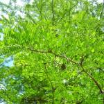 Robinia pseudoacacia - Robinie, Scheinakazie, belaubter Zweig, gefiederte Blätter