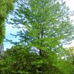 Robinia pseudoacacia - Robinie, Scheinakazie, schlanker Wuchs, aufrecht, im oberen Teil schon typisch mehrstämmig
