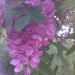 Blütendetails von Robinia pseudoacacia Casqu Rouge - rosa blühende Robinie