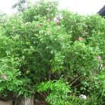 Apfelrose Rosa rugosa aufrecht strauchförmiger Wuchs
