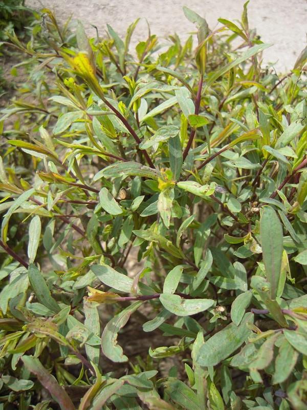 Salix purpurea, Weide