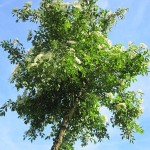 Sambucus nigra, schwarzer Holunder, Holler, Vogelnährgehölz