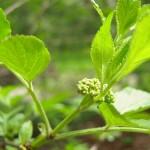 Sambucus nigra Haschberg