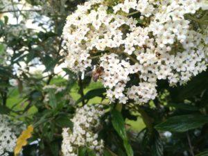 Schneeball Viburnum burkwoodii