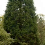 Sequoiadendron giganteum, typischer schlank aufrechter Wuchs