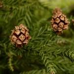 Sequoiadendron giganteum, eiförmige Zapfen, geöffnet