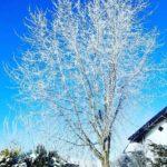 Silberahorn im Winter, Raureif bei strahlend blauem Himmel lassen den Baum glitzern