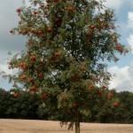 Sorbus aucuparia, Vogelbeerbaum, Solitärbaum, Vogelnährgehölz