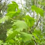 Sorbus torminalis, Elsbeere , Zweige frisch belaubt