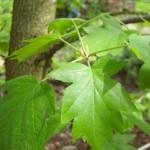 Sorbus torminalis, Elsbeere , Detail der Ahornähnlichen Blätter