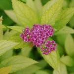 Spiraea japonica Goldflame, gelblaubiger Zwegspierstrauch