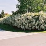 Spiraea vanhoutteii als Blütenhecke, frei wachsend