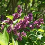 dunkelviolette Blüte des Syringa vulgaris, Edel- oder Juniflieder