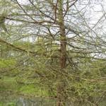 Taxodium distichum - Sumpfeibe, Sumpfzypresse
