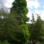 Taxodium distichum, zweizeilige Sumpfzypresse, Wuchsform