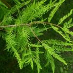 Taxodium distichum, zweizeilige Sumpfzypresse, Detail Nadeln