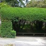 Taxus baccata, heimische Eibe, Formschnitt